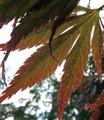 acer-leaf