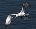 Gannet (Morus bassanus) flying fast !