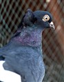 black pidgeon