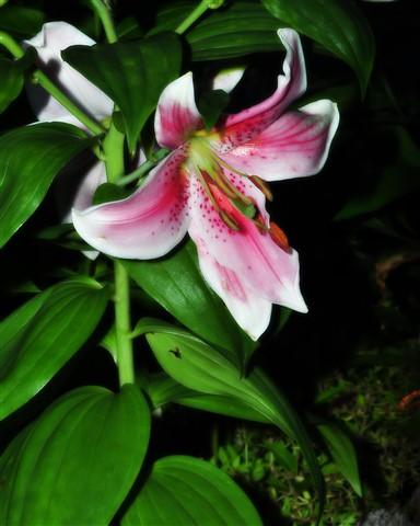 Mona Lisa Oriental Day Lily, Binghamton, NY, DIJ-AS #024-8x10V-orton