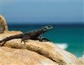 Cape Rock Agama