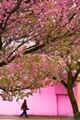 Cherry blossom time, Victoria, BC
