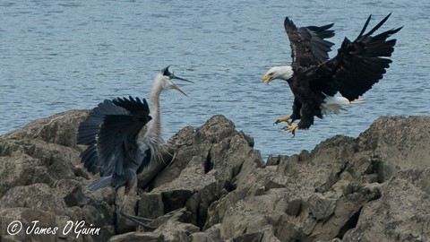 Bald Eagle vs GBH