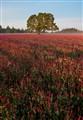 Red Clover Sunrise