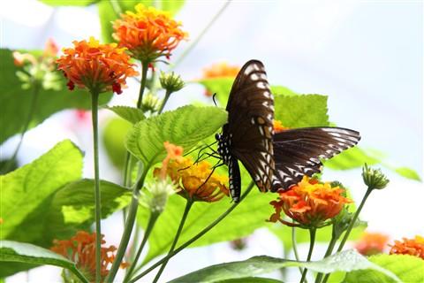 Butterfly_Mainau_Konstanz_056