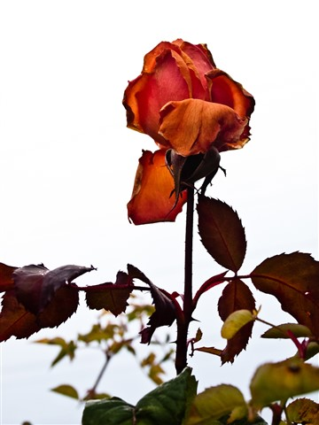 Last Rose of Summer against winter sky