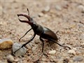 Lucanus cervus in the defensive mode