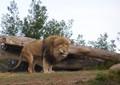 Lion Strain