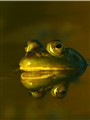 BULLFROG - ON GOLDEN POND