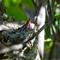 Hummingbird babies 4
