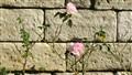 Roses against stone