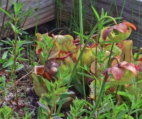5861-Flora-flytrap-ACR-resi