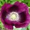 grape poppy