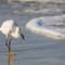 445A0149-White Egret Fishing