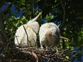 White Birds In Nest
