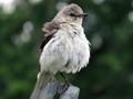 Common Garden Bird in Summer