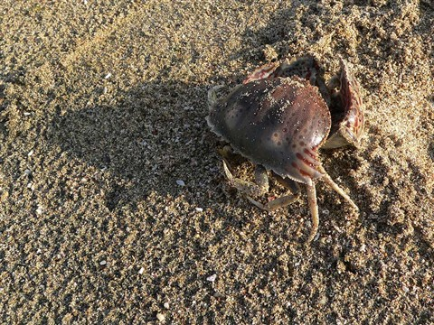 The (Im)mortal Crab, Fujairah