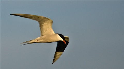 Tern at sunset