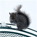 A Squirrel in Winter