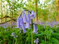 bluebells at moggerhanger