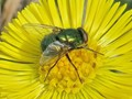 fly on a coltsfoot (Tussilago farfara)