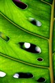 Green Leaf with Holes