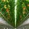 Tomato Hydroponic cultivation