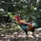 junglefowl-dp