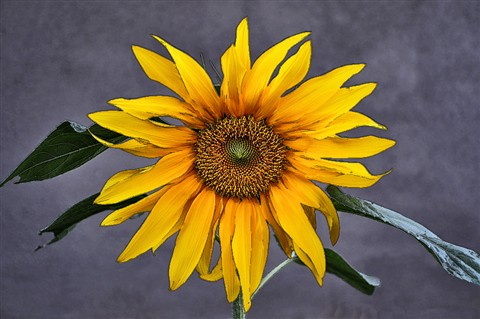 DP,SUNFLOWER
