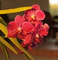 Flower, The Thai Orchid