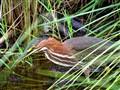 20120723.02-Juvenile Green Heron
