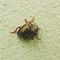 Beetle on Wall