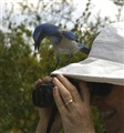 Florida Scrub Jay - Ever Curious