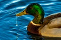 Wet Duck-001