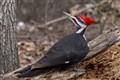 Pileated Woodpecker - Male