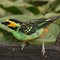 1557Gold-earTanager