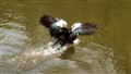 Duck landing on water
