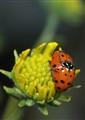 IMGP01972222ladybug