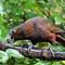 Kaka - forrest parrot