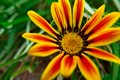 Treasure Flower 'Daybreak Red Stripe' Gazania