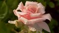 rose enough (1 of 1)