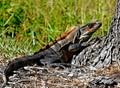 Black Spiny-tailed Iguana.