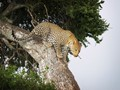 Leopard looks to leap
