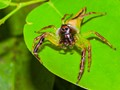 Male Green Jumping Spider_8519
