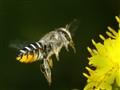 Pollen on Abdomen