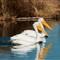 White Pelican 008