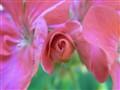 merveilleux pétales fushia