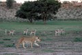 A lioness casually stalks past some curious Springbok at Kgalagadi Transfrontier Park, South Africa.