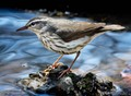 Northern water thrush