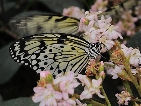 Yellow Butterfly 2_00185